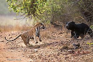 Rencontre entre Tigre et Ours lippu
