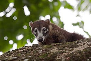 Coati à museau blanc