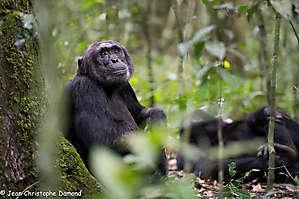 Chimpanzé rêveur