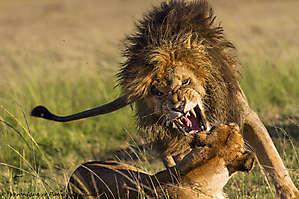 Accouplement de lions