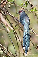 Oiseaux de Thaïlande