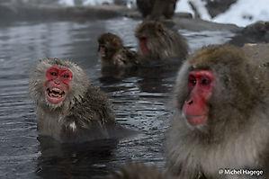 Macaque japonais - Macaca fuscata_13