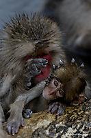 Macaque japonais - Macaca fuscata_14