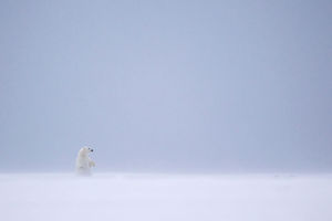 Ours polaire (Ursus maritimus)