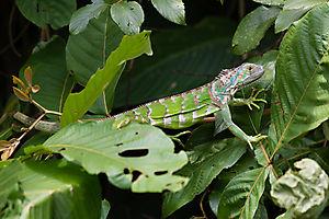 Iguane vert (Iguana iguana), Costa Rica
