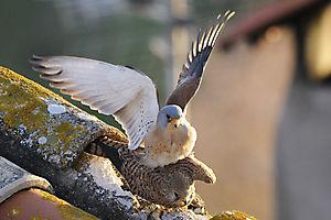 Accouplement de Faucons crécerellettes (Falco naumanni)