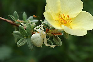 Thomise variable (Misumena vatia)