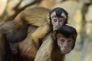 Capucins bruns