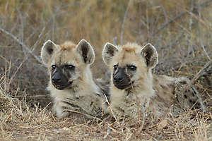 Hyènes tachetées