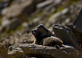 Marmotte et marmotton