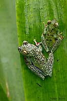 Rainette à palmures rouges: mâle et femelle