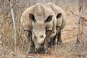 Duo de Rhinos