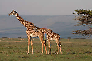 Girafocalin