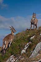 Bouquetins des Alpes, massif du Chablais