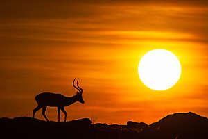 Impala du petit matin