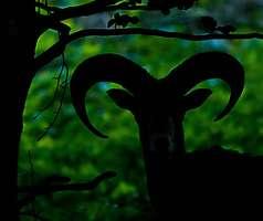 Mouflon en sous bois